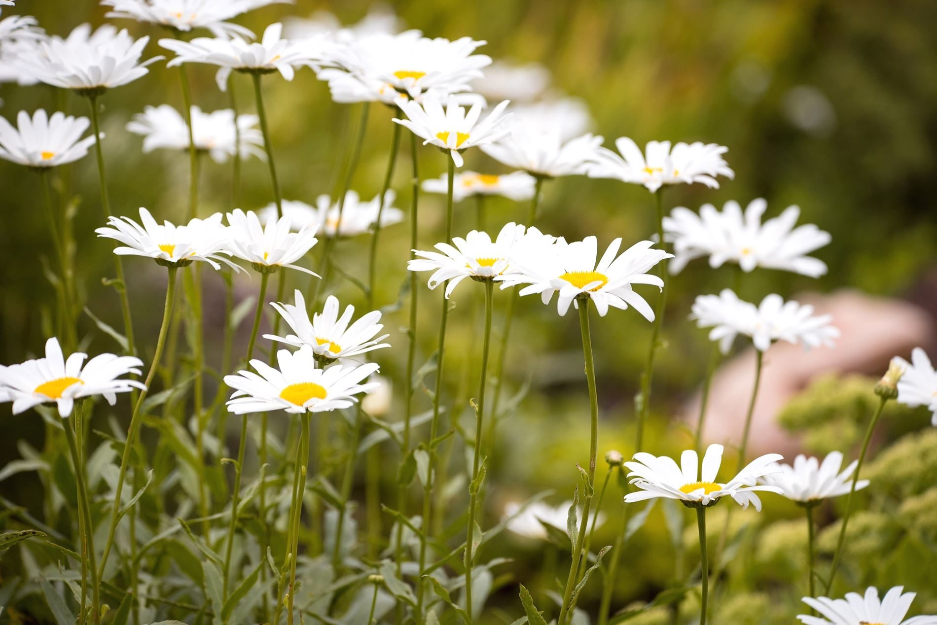 Free Picture Daisies Flowers Grass Nature Plant Bloom Blossom