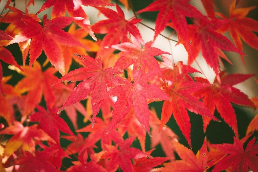 Crveni, lišće, ljeta, stablo, vrt, grana