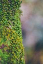 grön, makro, moss, grön växt