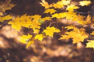 javora, lišće, jesen, stabla, grana, biljka