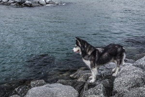 water, beach, dog, husky, rock, sea