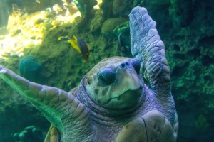 turtle, underwater, water, animal, sea, swimming