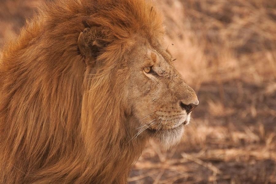lion, animal, cat, carnivore, animal, wild