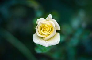 garden, leaf, flower, nature, petals, rose, summer