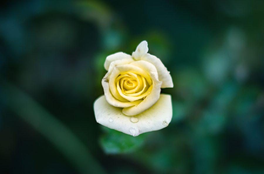сад leaf квітка, природи, пелюстки, троянда, літо