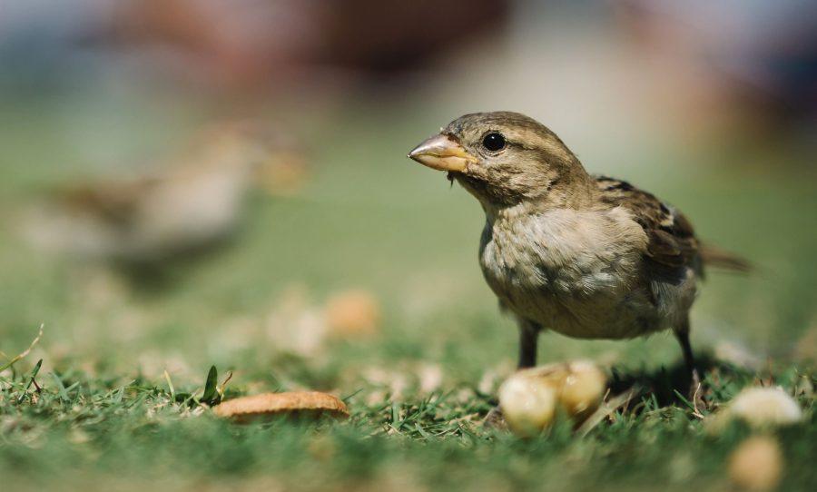 φτερά, γρασίδι, φύση, φτέρωμα, σπουργίτι, ζώο, πτηνών