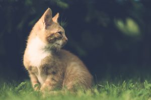 adorable, animal, domestic cat, fur, garden, grass, kitty