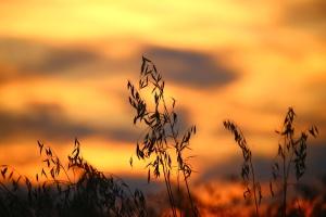 paisagem, silhueta, trigo, campo, sol