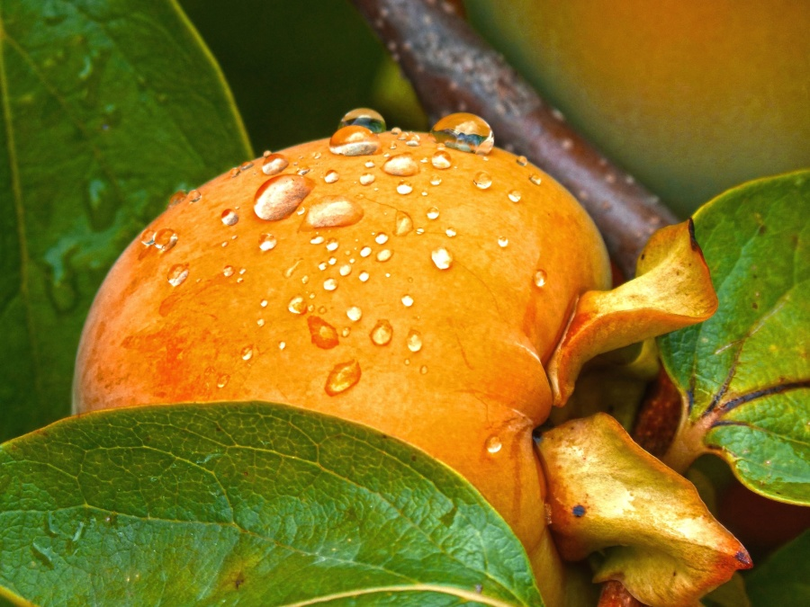 peach, orchard, rain, summer, water drops, food, fruit, garden