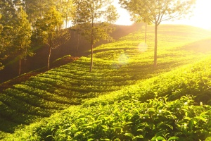 El sol, árboles, madera, agricultura, campo, cultivos