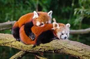 panda rouge, arbre, branche, la faune, bois, animaux
