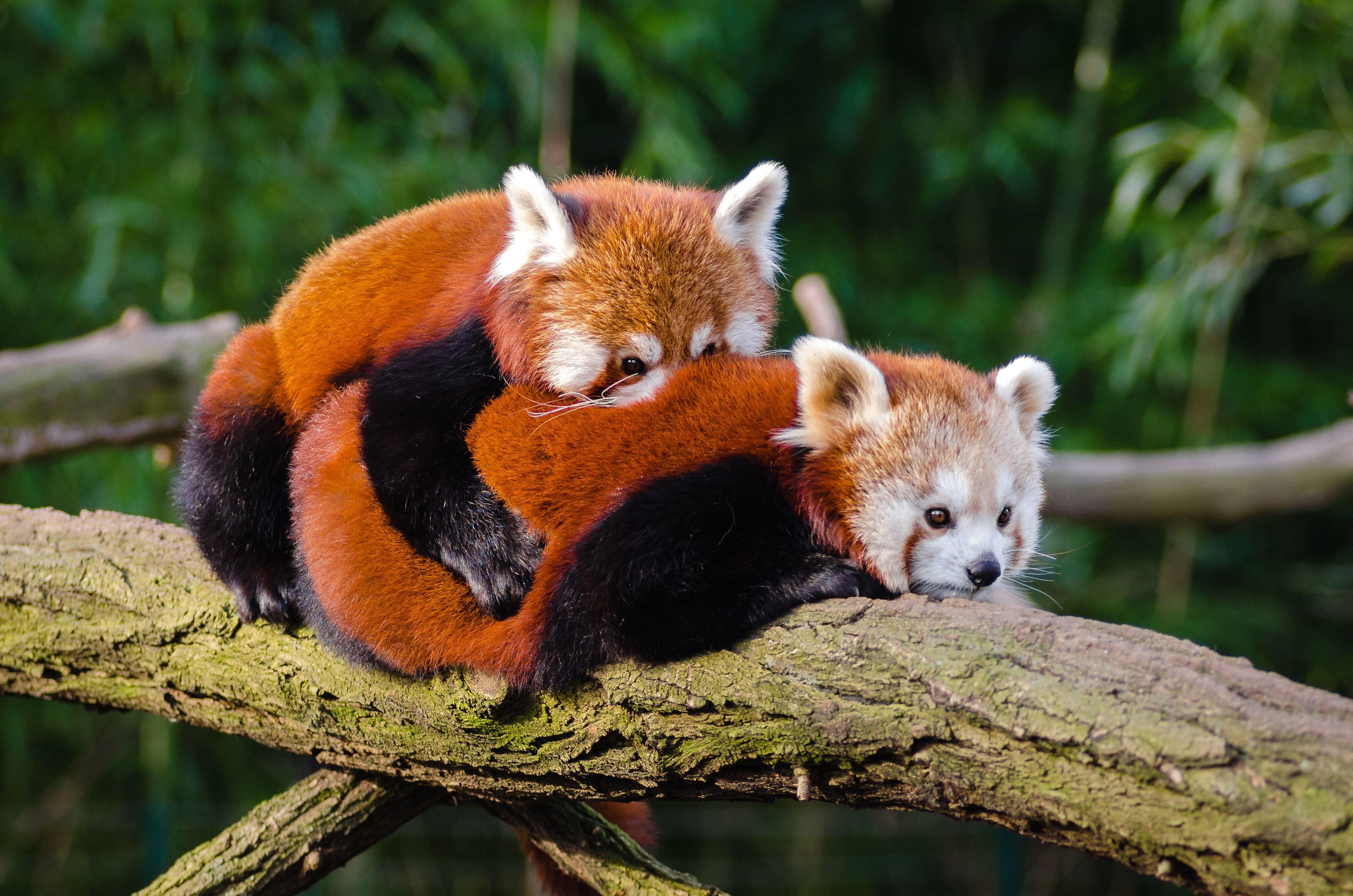 Image Libre Panda Rouge Arbre Branche La Faune Bois
