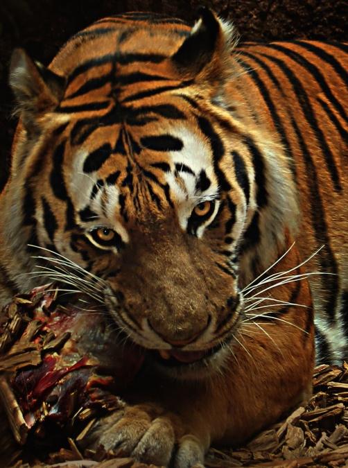 Tiger, pemburu liar, hewan, marah, hutan