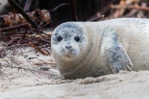 Seelöwen, Park, Strand, Sand, Tierwelt, Tier