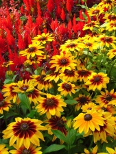 Hoa vườn, thiên nhiên, mùa hè, nở, cánh hoa, nhụy hoa
