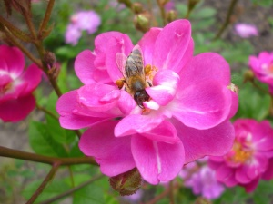 honey bee, bee, insect, flower, petals, pollination