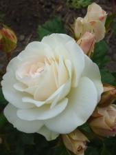 bílé růže, bud, kvetoucí, květy, okvětní lístky