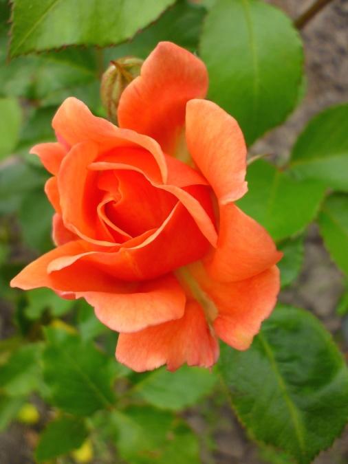 bud, ruže, kvetina, kvitnúce, lístkov