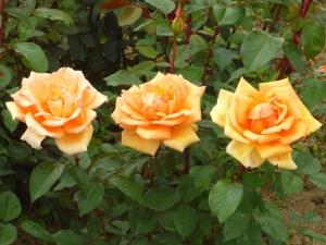 rose, flower, garden, flowering, green eaves, petals, pistil