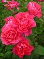 červená růže, listy, květy, příroda, jaro, květiny