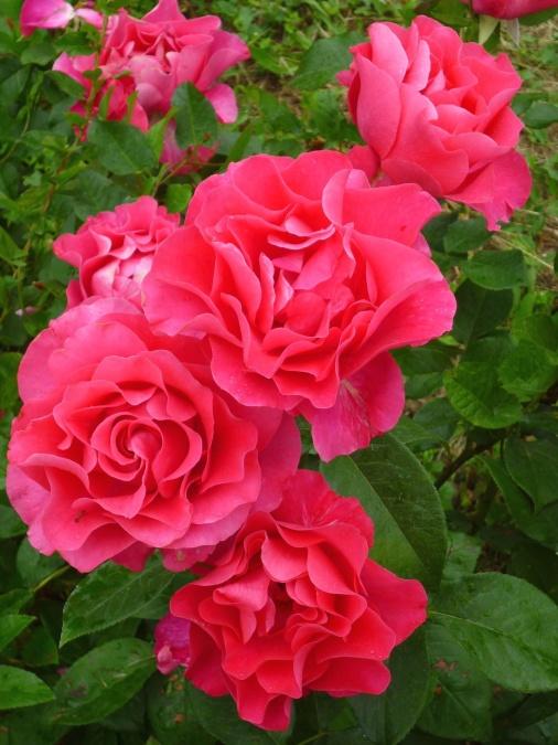crvena ruža, lišće, cvijet, prirode, proljeća, cvijet