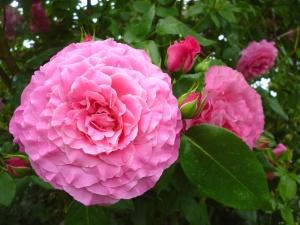 Hortensie, rose, Blume, Garten, Blüte, Blatt