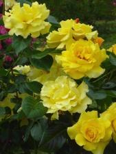 geel, rose, bloem, bloeiende, groene bladeren, lente