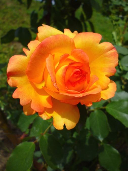 pomarančového kvetu ruže, Záhrada, okvetné lístky, kvet, príroda