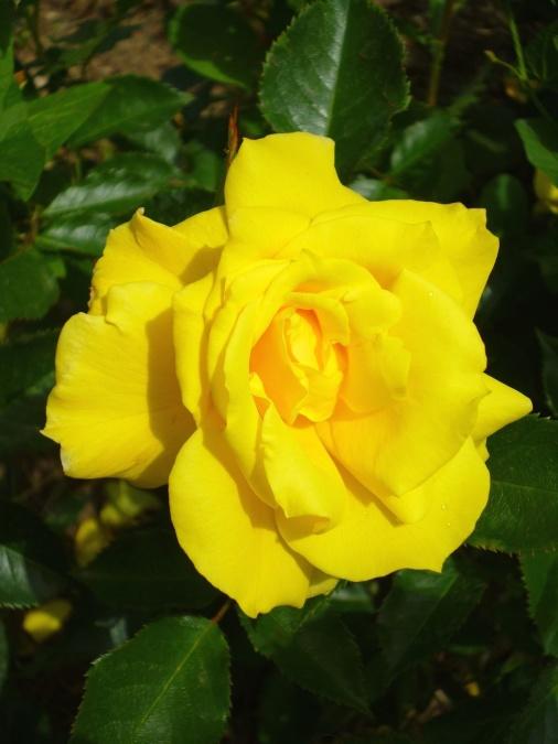 žltá, piestik, ruže, lístkov, jar, kvetina, kvitnúce