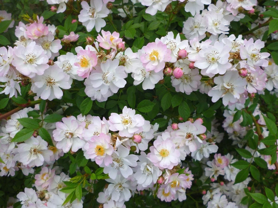 Záhrada, kvetina, kvitnúce, okvetné lístky, listy, ker