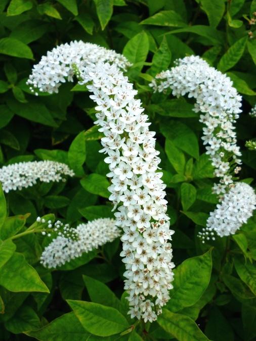 bijeli cvijet, list, proljeće, cvatnje, latice