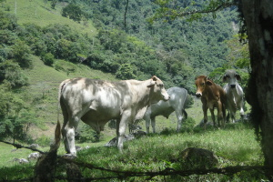 cows, grazing, cattle, farm, green grass