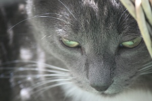 kitty, animal, domestic cat, whiskers, feline, fur, grey, hair, kitten