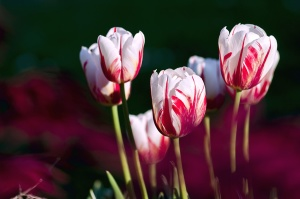 nature, spring, tulips, bloom, flora, flowers