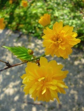 yellow, flower, flowering, branches, leaves, grass