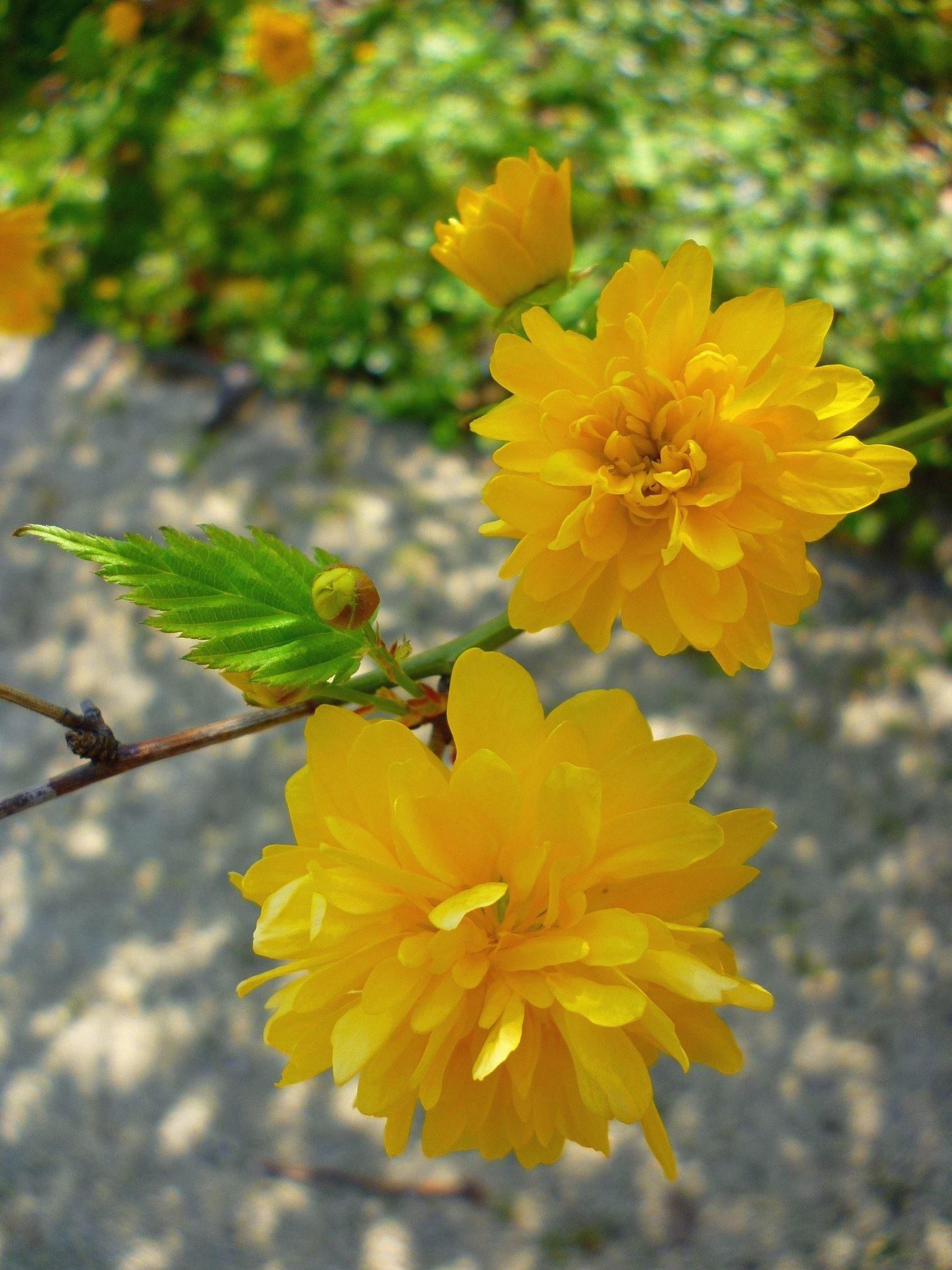 Kostenlose Bild: gelb, Blume, Blüte, Äste, Blätter, Rasen