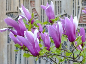 magnolia, branch, flower, tree, petals
