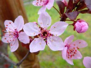 ogród, wiosna, kwiat, kwitnących, płatki, natura