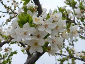 cherry tree, flower, branch, blossom, spring