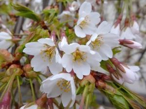 Estampe, fleur, nature, jardin, pétales, floraison, printemps