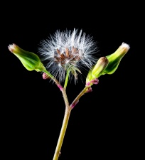 Flore, fleur, fleur, pistil, fleur, pissenlit, bourgeon, nature