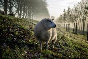 grass, nature, sheep, wool, animal