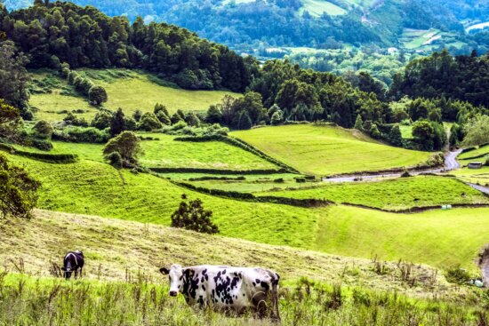 cows, summer, travel, tree, road, rural, agriculture, animal, cattle