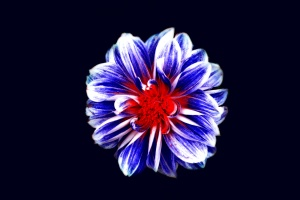Blume, dunkel, fotomontage