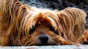 Animale, cane, animale domestico, cucciolo, yorkshire terrier