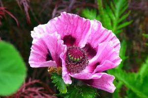 άνθος, λουλούδι, έχων πέταλα, ανθοφορία, φυτό, πέταλα, άνθιση
