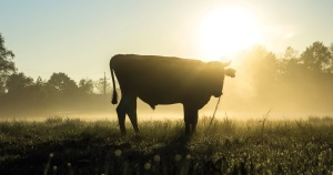 pasture, cow, agriculture, animal, bull, cattle, rural, silhouette, summer, sun