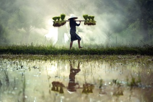 reflection, rice, water, agriculture, cropland, cultivate