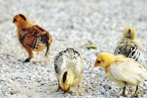 Giovane, animale, uccello, pulcini, pollame