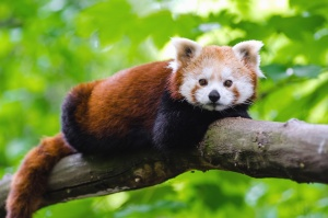 Panda, faune, animal, arbre, mignon